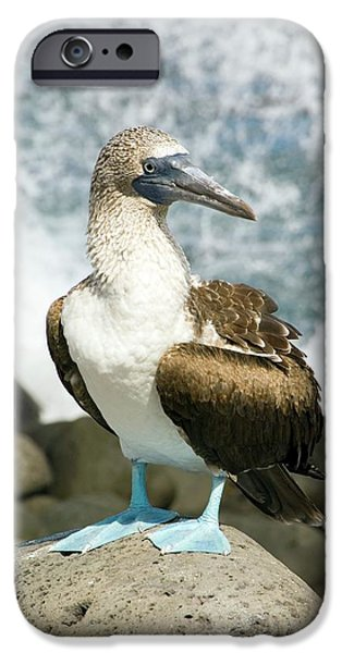 Blue-footed Booby IPhone 6s Case by Daniel Sambraus