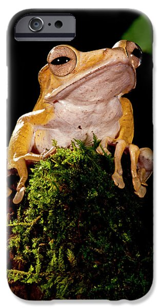 Borneo Eared Frog, Polypedates IPhone Case by David Northcott
