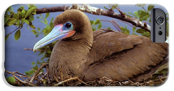 Brown Color Morph Of Red-footed Booby IPhone 6s Case by Thomas Wiewandt