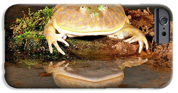 Budgett's Frog, Lepidobatrachus Asper IPhone Case by David Northcott