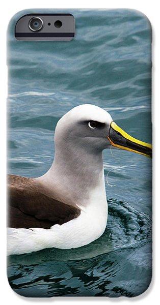 Buller's Albatross (thalassarche Bulleri IPhone 6s Case by Micah Wright