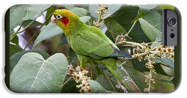 Chiriqui Conure 2 IPhone 6s Case by Heiko Koehrer-Wagner