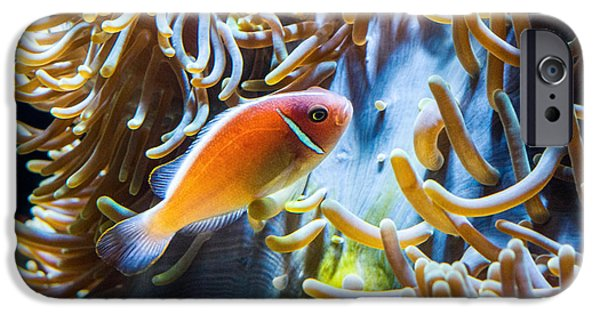 Clown Fish - Anemonefish Swimming Along A Large Anemone Amphiprion IPhone Case by Jamie Pham