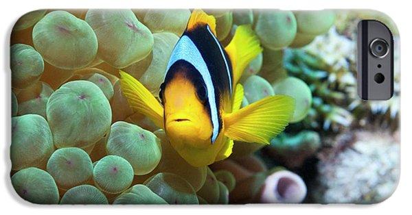 Clownfish In Anemone IPhone Case by Georgette Douwma