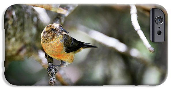 Common Crossbill Female IPhone 6s Case by Dr P. Marazzi