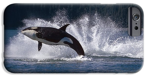 Double Breaching Orcas Bainbridge IPhone Case by Calvin Hall