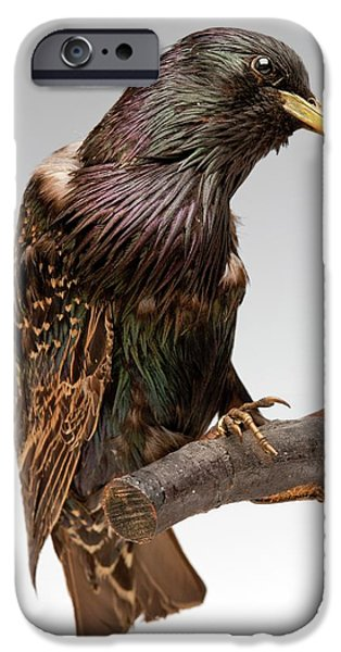 European Starling IPhone 6s Case by Ucl, Grant Museum Of Zoology