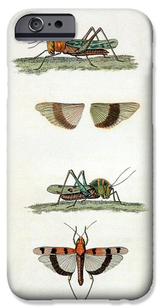 Field Crickets IPhone 6s Case by General Research Division/new York Public Library