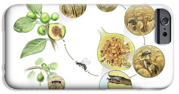 Fig Wasp Life Cycle IPhone Case by Nicolle R. Fuller