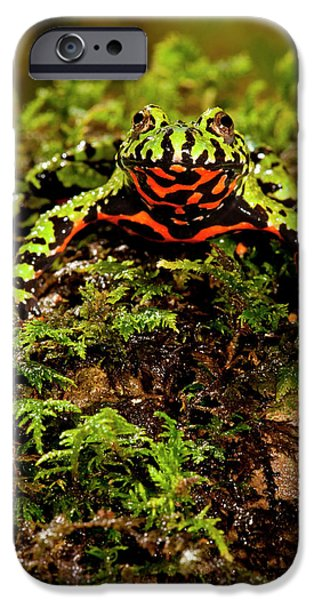 Fire Belly Toad Bombina Orientalis IPhone Case by David Northcott