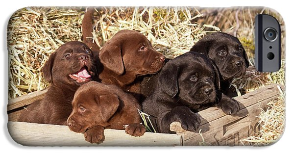 Five Labrador Retriever Puppies IPhone Case by Zandria Muench Beraldo