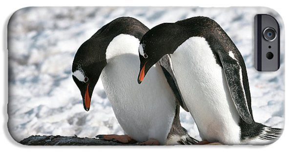 Gentoo Penguins Pair Bonding IPhone Case by Dr P. Marazzi