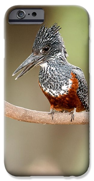 Giant Kingfisher Megaceryle Maxima IPhone 6s Case by Panoramic Images