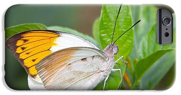 Giant Orange Tip Butterfly IPhone Case by Jane Rix