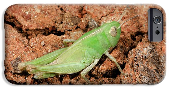 Grasshopper Aiolopus Strepens Nymph IPhone 6s Case by Nigel Downer
