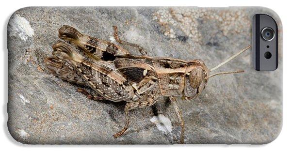 Grasshopper Calliptamus Barbarus Juvenile IPhone 6s Case by Nigel Downer