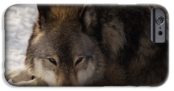 Gray Wolf In Snow IPhone Case by Stephanie McDowell