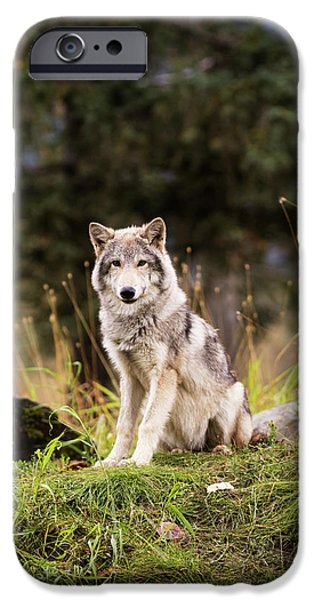 Grey Wolf  Canis Lupus  Pup Roams It S IPhone 6s Case by Doug Lindstrand