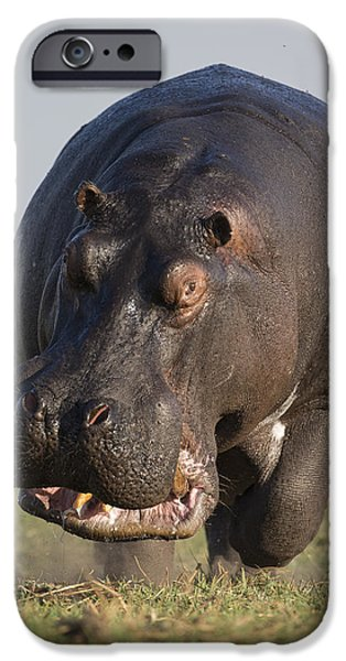 Hippopotamus Bull Charging Botswana IPhone 6s Case by Vincent Grafhorst