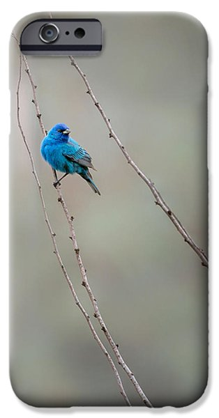 Indigo Bunting IPhone 6s Case by Bill Wakeley