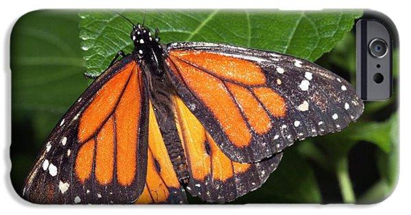 Ismenius Tiger Butterffly IPhone Case by Dirk Wiersma