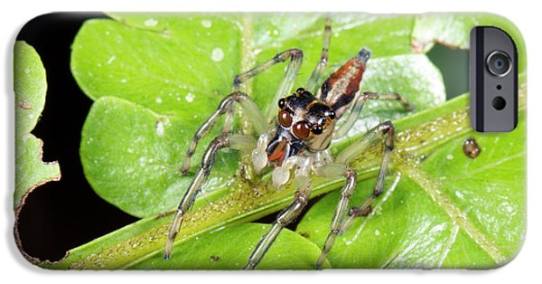 Jumping Spider IPhone Case by Dr Morley Read