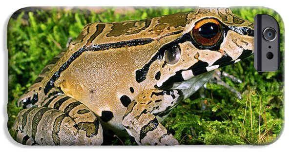Juvenile Smoky Jungle Frog IPhone Case by Dr Morley Read