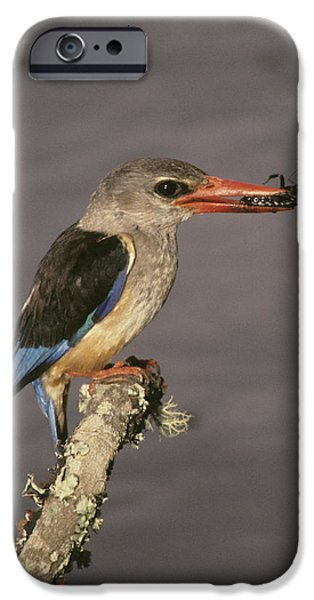Kenya Grey-hooded Kingfisher On Limb IPhone Case by Jaynes Gallery