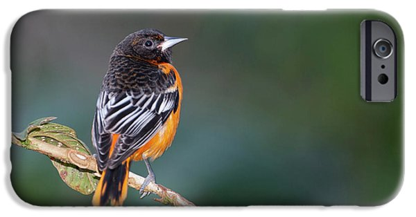 Male Baltimore Oriole, Icterus Galbula IPhone 6s Case by Thomas Wiewandt