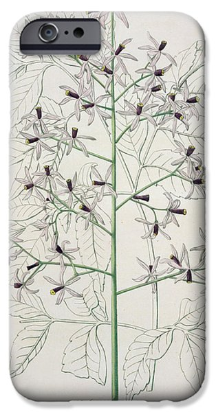 Melia Azedarach From 'phytographie Medicale' By Joseph Roques IPhone Case by L F J Hoquart