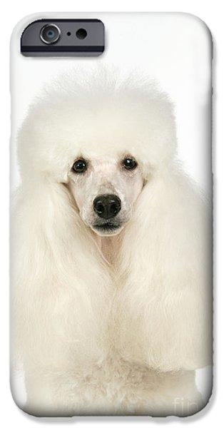 Miniature Poodle Dog IPhone Case by John Daniels