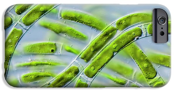 Mougeotia Sp. Green Alga IPhone Case by Gerd Guenther