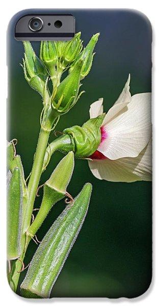 Okra (abelmoschus Esculentus) IPhone Case by Dr. Nick Kurzenko