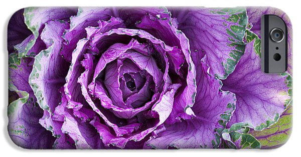 Ornamental Cabbage IPhone 6s Case by Tim Gainey