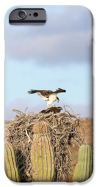 Ospreys Nesting In A Cactus IPhone 6s Case by Christopher Swann