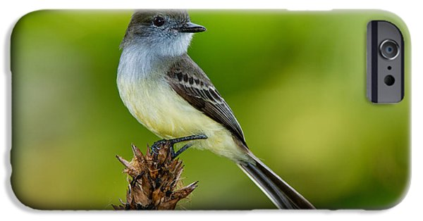 Pale-edged Flycatcher IPhone 6s Case by Anthony Mercieca