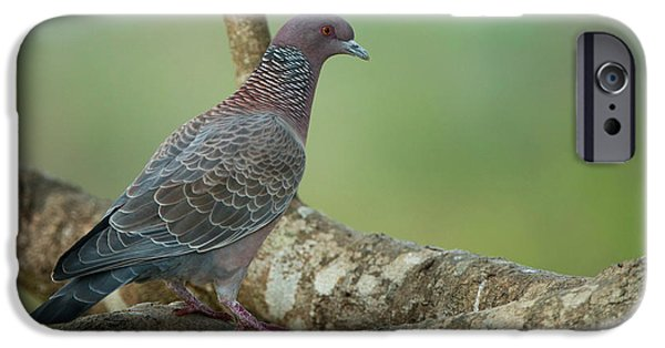 Picazuro Pigeon (patagioenas Picazuro IPhone 6s Case by Pete Oxford