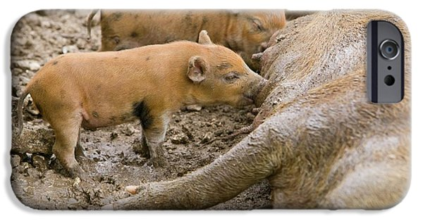 Pigs Reared For Pork On Tuvalu IPhone 6s Case by Ashley Cooper