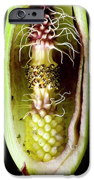 Pollination Mechanism Of Arum Apulum IPhone Case by Dr Jeremy Burgess