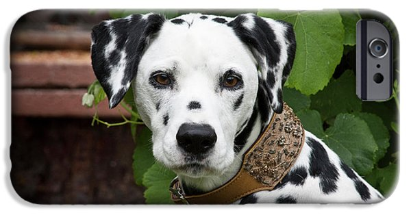 Portrait Headshot Of A Dalmatian Sitting IPhone Case by Zandria Muench Beraldo