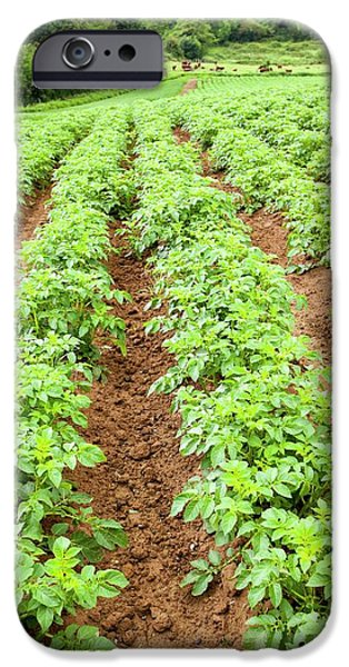 Potatoes Growing At Washingpool Farm IPhone 6s Case by Ashley Cooper