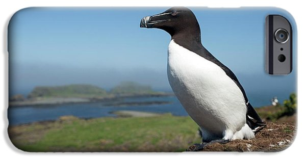 Razorbill On A Coastal Ledge IPhone 6s Case by Simon Booth