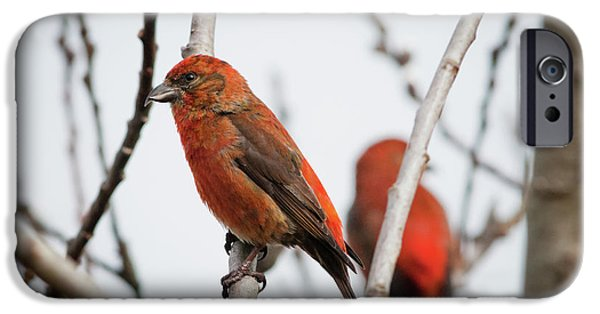 Red Crossbills Perch In A Willow IPhone 6s Case by Robert L. Potts