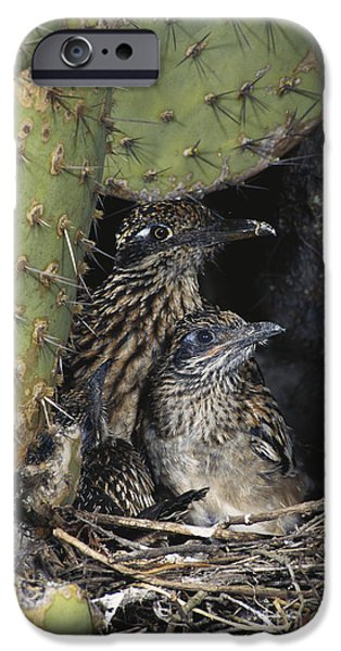 Roadrunners In Nest IPhone 6s Case by Anthony Mercieca