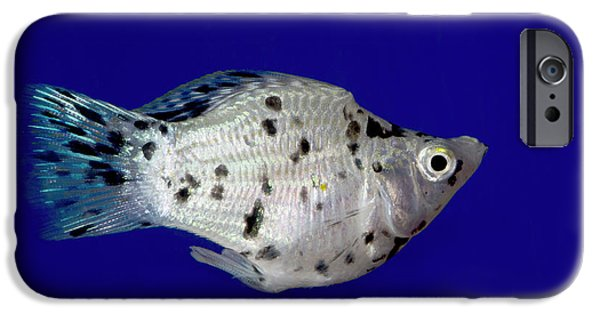 Sailfin Molly IPhone Case by Nigel Downer