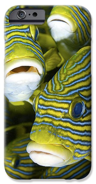 Schooling Sweetlip Fish, Raja Ampat IPhone Case by Jaynes Gallery