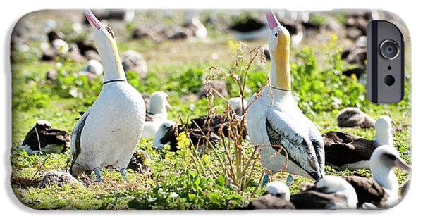 Short-tailed Albatross (phoebastria IPhone 6s Case by Daisy Gilardini