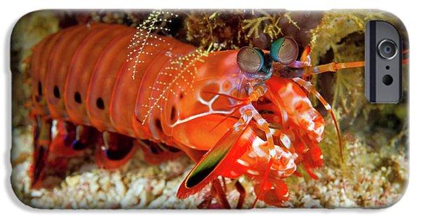 Shrimp On Ocean Floor, Raja Ampat IPhone Case by Jaynes Gallery