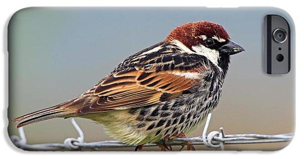 Spanish Sparrow On Barbed Wire IPhone Case by Bildagentur-online/mcphoto-schaef