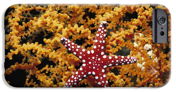 Starfish Feeding On Coral In The Red Sea IPhone Case by Jeff Rotman